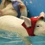 pig-olympics-swimming