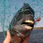 sheepshead-fish-human-teeth