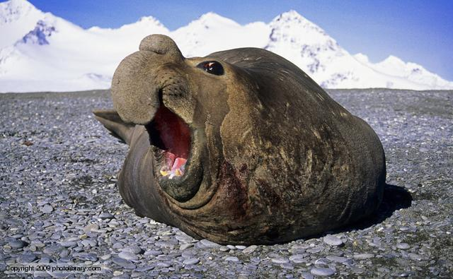 Elephant Seal Goes For A Stroll In Busy Town Centre ...