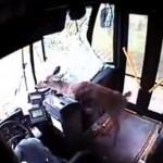 Deer-crashes-through-bus-windscreen-