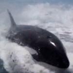 killer whale riding surf like dolphin wake
