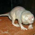 Naked Mole-Rat - Cancer Cure - Hyaluronan - East Africa