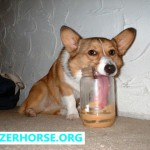 Stupid Dog - Dog Falling Over - Corgi Peanut Butter