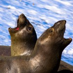 Animal Mating Calls - Seal Video Collection