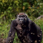 Masters Of Nature Photography - Anup Shah,Bai Hokou, Dzanga-Sangha Dense Forest Special, Reserve, Central African Republic - Gorilla and Butterfly