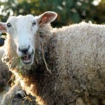 Man Vs Sheep