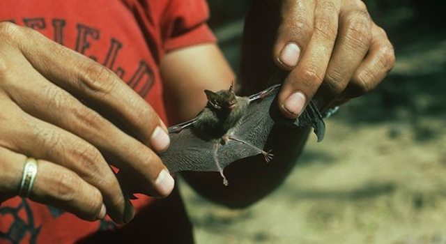 facts about the smallest mammal found in thailand the bumblebee bat The bumblebee bat is not only the world's smallest bat but it is also the world's smallest mammal with the weight of few ounces bumblebee bat facts such as this are.