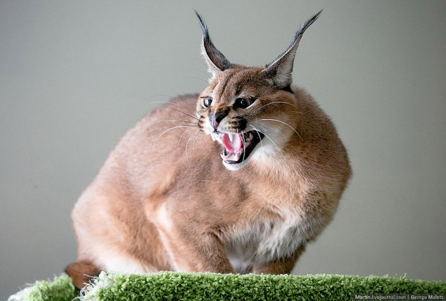 Lynx Cat Pet Angry