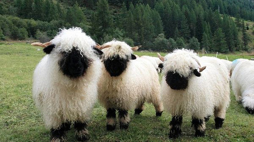 Valais Blacknose Sheep Swiss Breed - herd