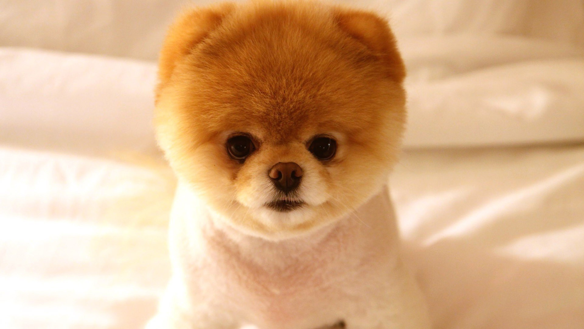 pomeranian puppies a shameless aaaaahhhh cute post