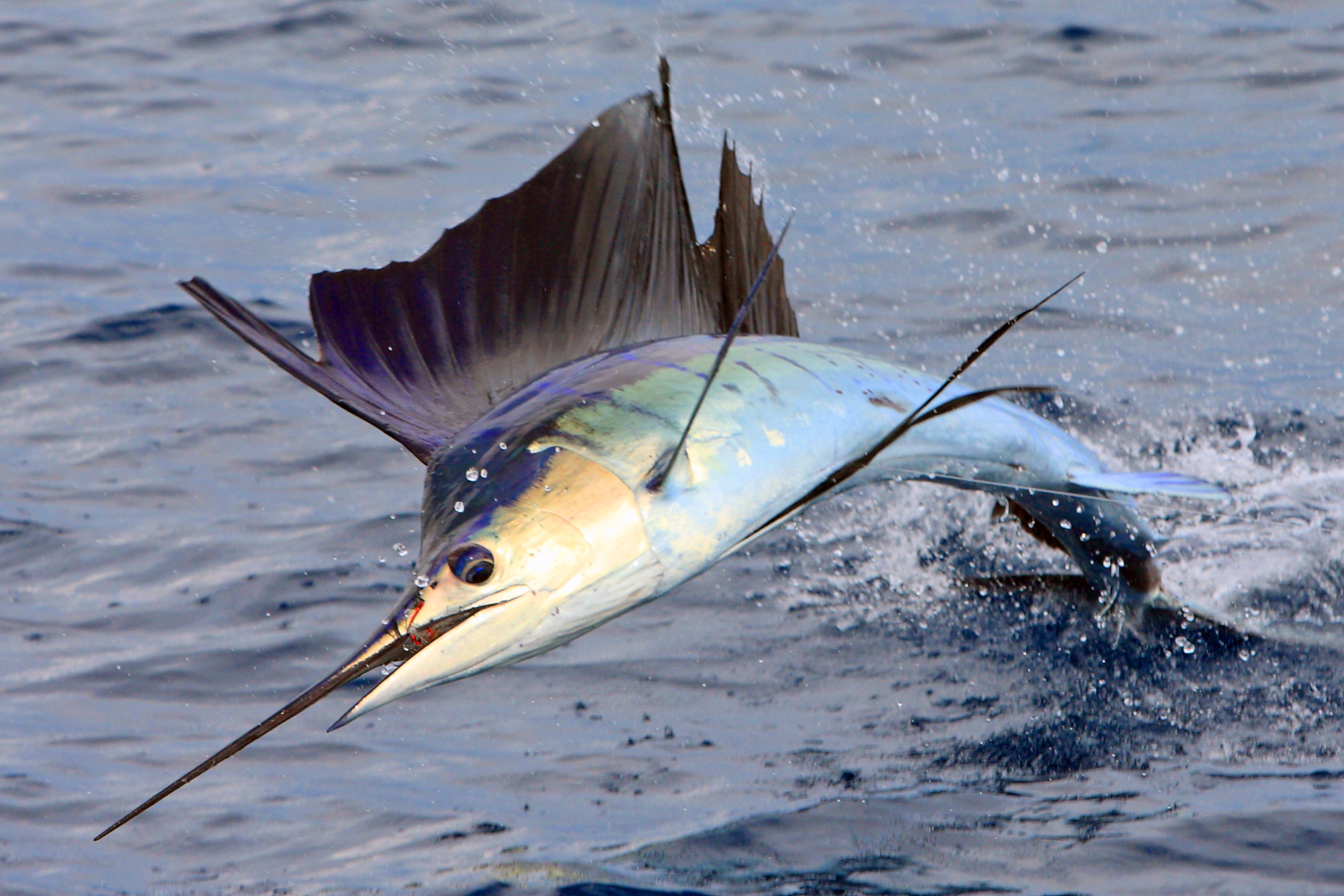 Sailfish fastest fish in the ocean lazer horse for A fish out of water