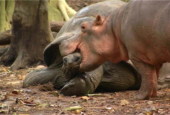 Pictures Of Baby Hippos Lazer Horse
