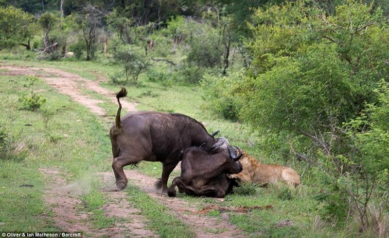 lion vs buffalo � lazer horse