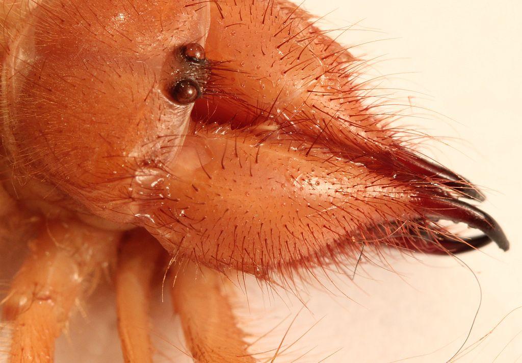 Solifugae: Like Spider...