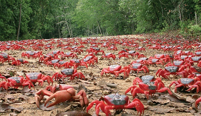 Red Crab Migration Of Christmas Island • Lazer Horse