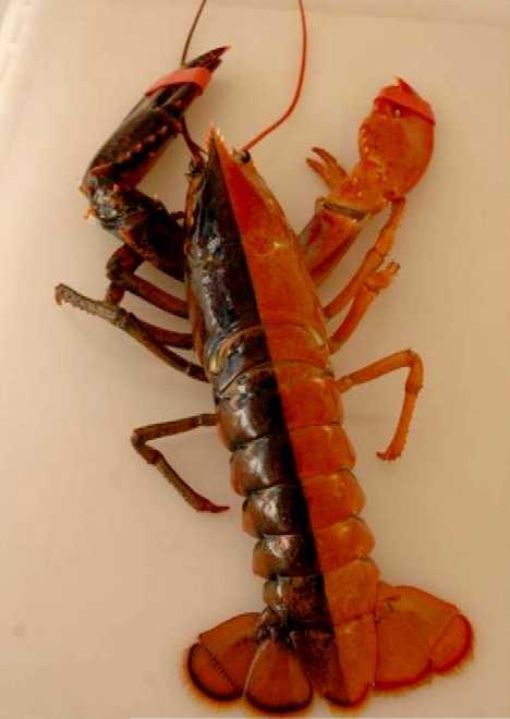 Gyandromorphs: Half Male, Half Female • Lazer Horse